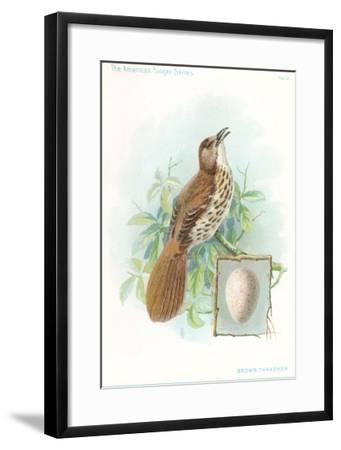 Brown Thrasher, Songbird--Framed Art Print