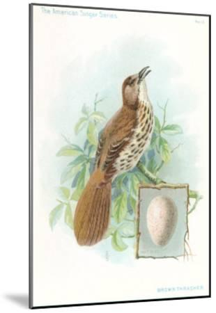 Brown Thrasher, Songbird--Mounted Art Print