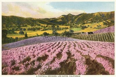 Orchards, Los Gatos, California--Stretched Canvas Print