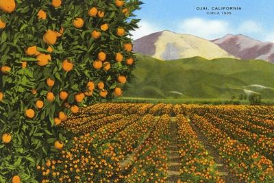 Orange Groves, Ojai--Stretched Canvas Print