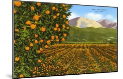Orange Groves, Ojai--Mounted Art Print