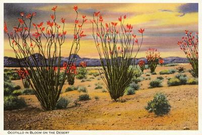 Ocotillo Blooming in Desert--Stretched Canvas Print