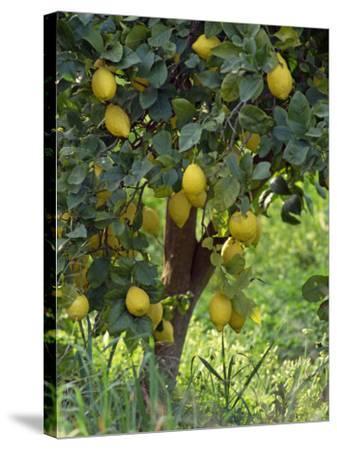 Close-Up of Lemon Tree, Denia, Spain, Europe-Jan Baldwin-Stretched Canvas Print