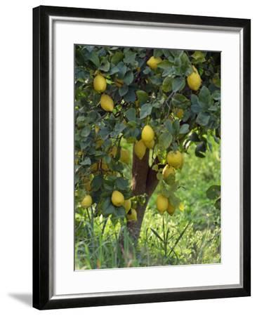 Close-Up of Lemon Tree, Denia, Spain, Europe-Jan Baldwin-Framed Photographic Print