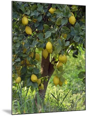 Close-Up of Lemon Tree, Denia, Spain, Europe-Jan Baldwin-Mounted Photographic Print