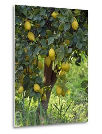 Close-Up of Lemon Tree, Denia, Spain, Europe-Jan Baldwin-Metal Print