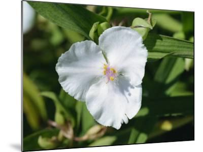 Close-Up of White Tradescantia Flower, Virginiana Osprey, in August, Devon-Michael Black-Mounted Photographic Print