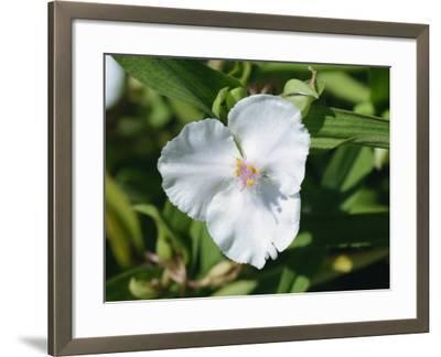 Close-Up of White Tradescantia Flower, Virginiana Osprey, in August, Devon-Michael Black-Framed Photographic Print