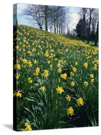 Daffodils in Spring-Jeremy Bright-Stretched Canvas Print