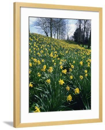 Daffodils in Spring-Jeremy Bright-Framed Photographic Print