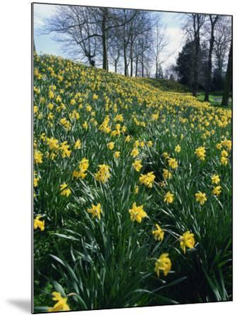 Daffodils in Spring-Jeremy Bright-Mounted Photographic Print