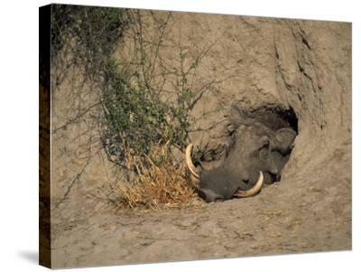 Close-Up of the Head of a Warthog, in a Burrow, Okavango Delta, Botswana-Paul Allen-Stretched Canvas Print