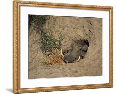Close-Up of the Head of a Warthog, in a Burrow, Okavango Delta, Botswana-Paul Allen-Framed Photographic Print