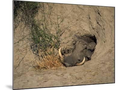 Close-Up of the Head of a Warthog, in a Burrow, Okavango Delta, Botswana-Paul Allen-Mounted Photographic Print