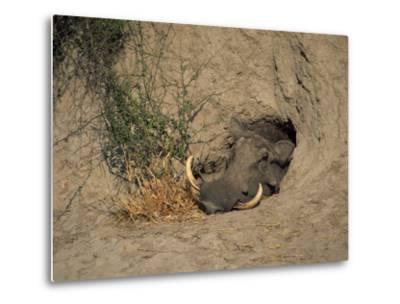 Close-Up of the Head of a Warthog, in a Burrow, Okavango Delta, Botswana-Paul Allen-Metal Print