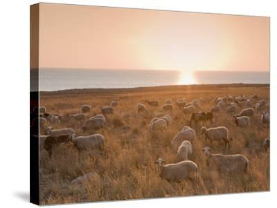 Flock of Sheep at Sunset by the Sea, Near Erice, Western Sicily, Italy, Europe-Mark Banks-Stretched Canvas Print