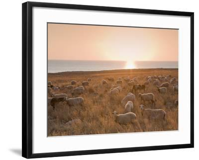 Flock of Sheep at Sunset by the Sea, Near Erice, Western Sicily, Italy, Europe-Mark Banks-Framed Photographic Print
