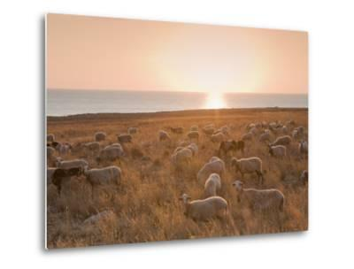Flock of Sheep at Sunset by the Sea, Near Erice, Western Sicily, Italy, Europe-Mark Banks-Metal Print