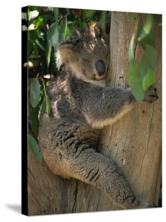 Koala Bear in a Gum Tree, Parndana Wildlife Park, Kangaroo Island, South Australia, Australia-Neale Clarke-Stretched Canvas Print