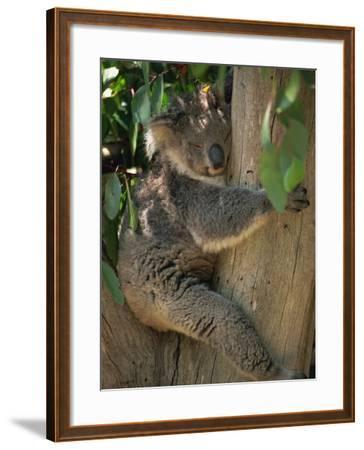 Koala Bear in a Gum Tree, Parndana Wildlife Park, Kangaroo Island, South Australia, Australia-Neale Clarke-Framed Photographic Print