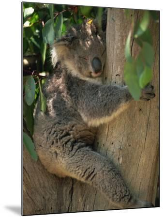Koala Bear in a Gum Tree, Parndana Wildlife Park, Kangaroo Island, South Australia, Australia-Neale Clarke-Mounted Photographic Print