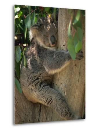 Koala Bear in a Gum Tree, Parndana Wildlife Park, Kangaroo Island, South Australia, Australia-Neale Clarke-Metal Print