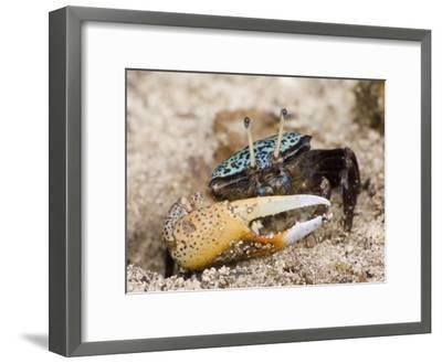 A fiddler crab among the spike-like roots of Sonneratia mangroves-Tim Laman-Framed Photographic Print