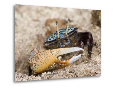 A fiddler crab among the spike-like roots of Sonneratia mangroves-Tim Laman-Metal Print