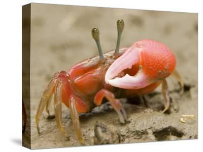 A fiddler crab forages on the mangrove mudflats at low tide-Tim Laman-Stretched Canvas Print