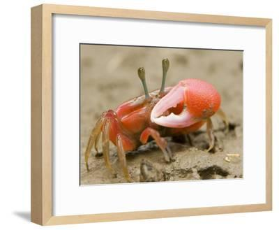 A fiddler crab forages on the mangrove mudflats at low tide-Tim Laman-Framed Photographic Print