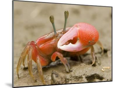 A fiddler crab forages on the mangrove mudflats at low tide-Tim Laman-Mounted Photographic Print