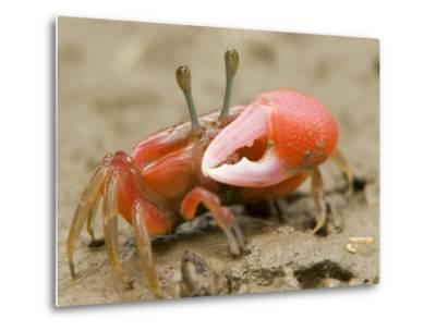 A fiddler crab forages on the mangrove mudflats at low tide-Tim Laman-Metal Print