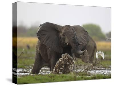 An elephant charges when startled by gunshots fired at poachers-Michael Nichols-Stretched Canvas Print