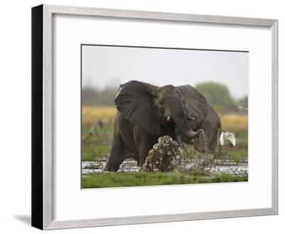 An elephant charges when startled by gunshots fired at poachers-Michael Nichols-Framed Photographic Print