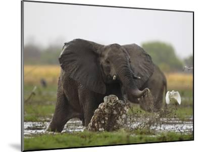 An elephant charges when startled by gunshots fired at poachers-Michael Nichols-Mounted Photographic Print