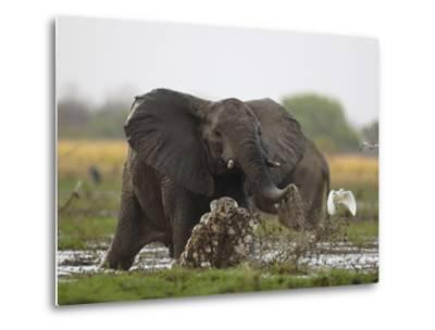 An elephant charges when startled by gunshots fired at poachers-Michael Nichols-Metal Print