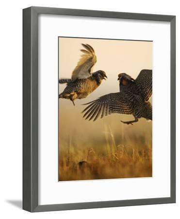 A pair of prairie chickens face off in dramatic aerial jousts-Jim Richardson-Framed Photographic Print