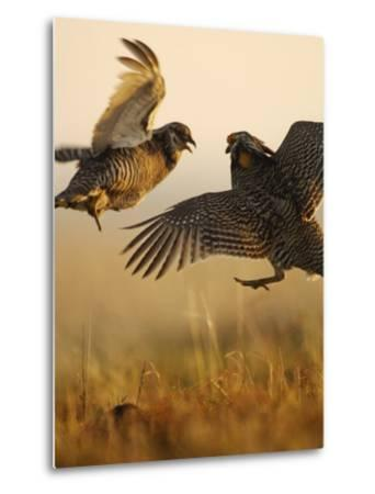 A pair of prairie chickens face off in dramatic aerial jousts-Jim Richardson-Metal Print