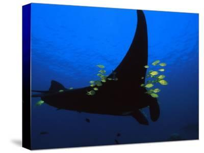 A manta ray with yellow striped jacks-David Doubilet-Stretched Canvas Print