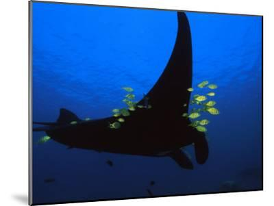 A manta ray with yellow striped jacks-David Doubilet-Mounted Photographic Print