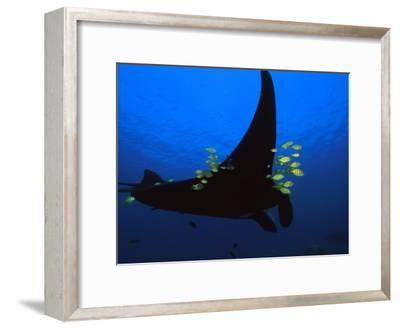 A manta ray with yellow striped jacks-David Doubilet-Framed Photographic Print
