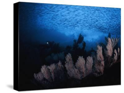 Sea fans and a school of cesio fish in passage off of Misool Island-David Doubilet-Stretched Canvas Print