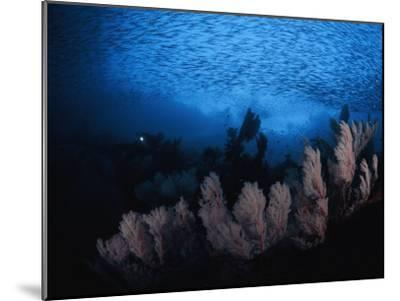 Sea fans and a school of cesio fish in passage off of Misool Island-David Doubilet-Mounted Photographic Print
