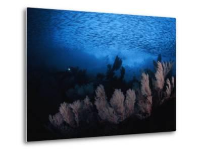 Sea fans and a school of cesio fish in passage off of Misool Island-David Doubilet-Metal Print