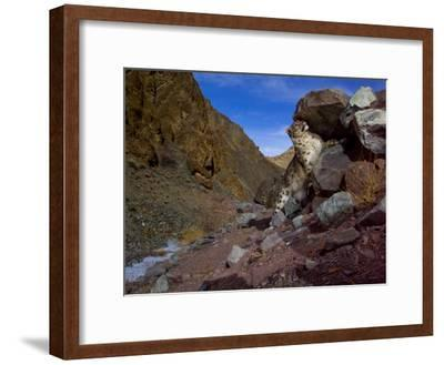 A snow leopard signals its presence by rubbing its scent on a rock-Steve Winter-Framed Photographic Print