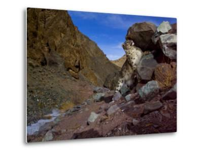 A snow leopard signals its presence by rubbing its scent on a rock-Steve Winter-Metal Print