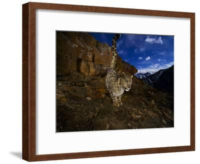 A snow leopard signals its presence by urinating beside his trail-Steve Winter-Framed Photographic Print