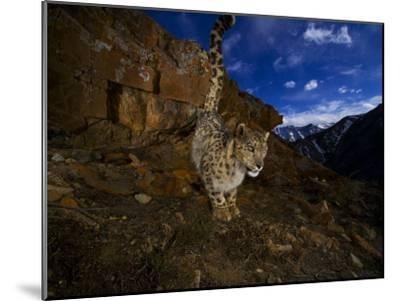 A snow leopard signals its presence by urinating beside his trail-Steve Winter-Mounted Photographic Print