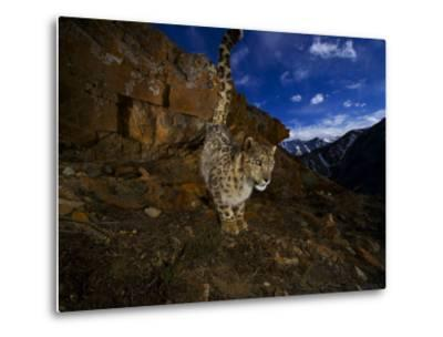 A snow leopard signals its presence by urinating beside his trail-Steve Winter-Metal Print