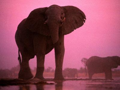 African elephants (Loxodonta africana)-Chris Johns-Framed Photographic Print